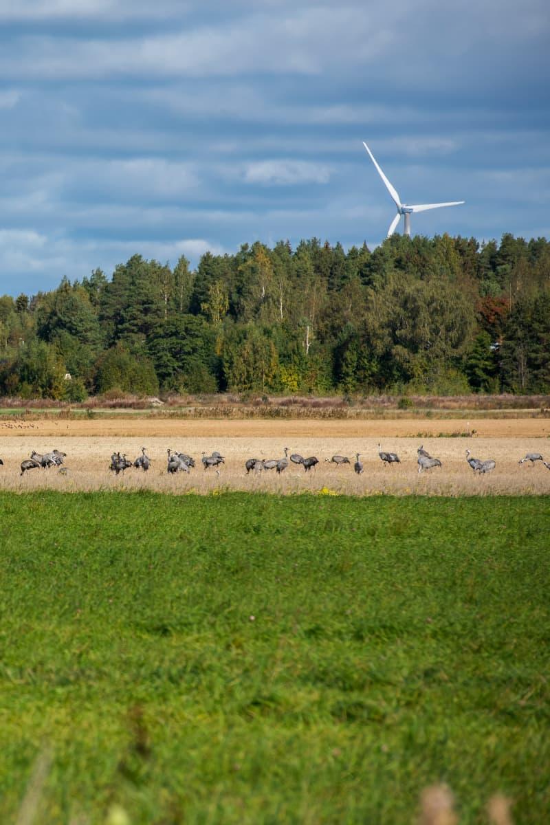 Kurkia syksyisellä pellolla ruokailemassa. Taustalla metsää ja tuulivoimala.