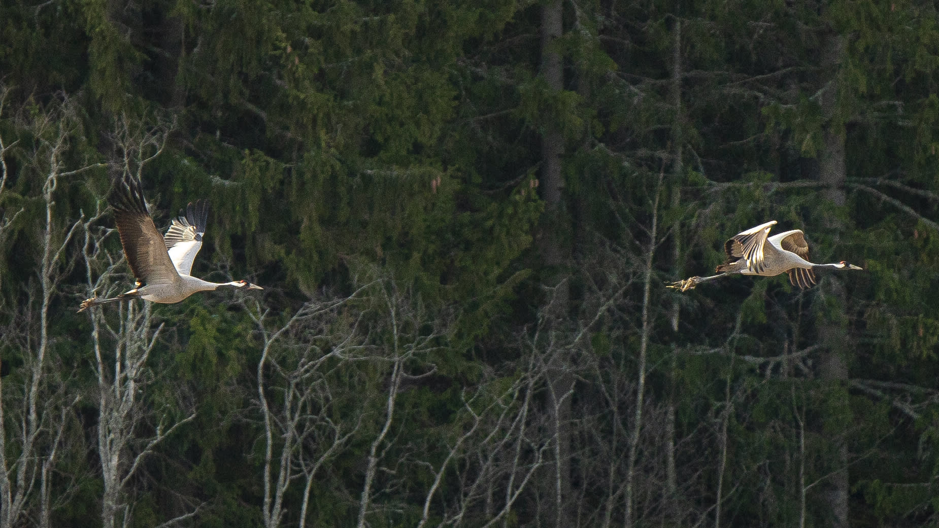 kurjet lentää