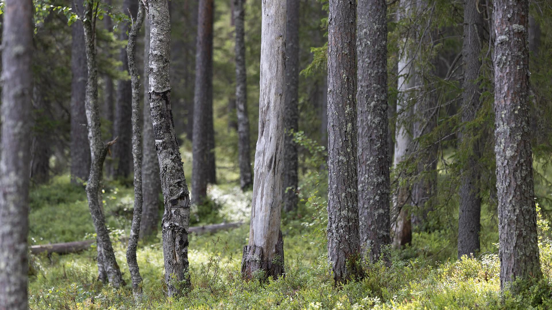 Isokankaan luonnonsuojelualueella Oulun Sanginjoella vanhaa metsää.