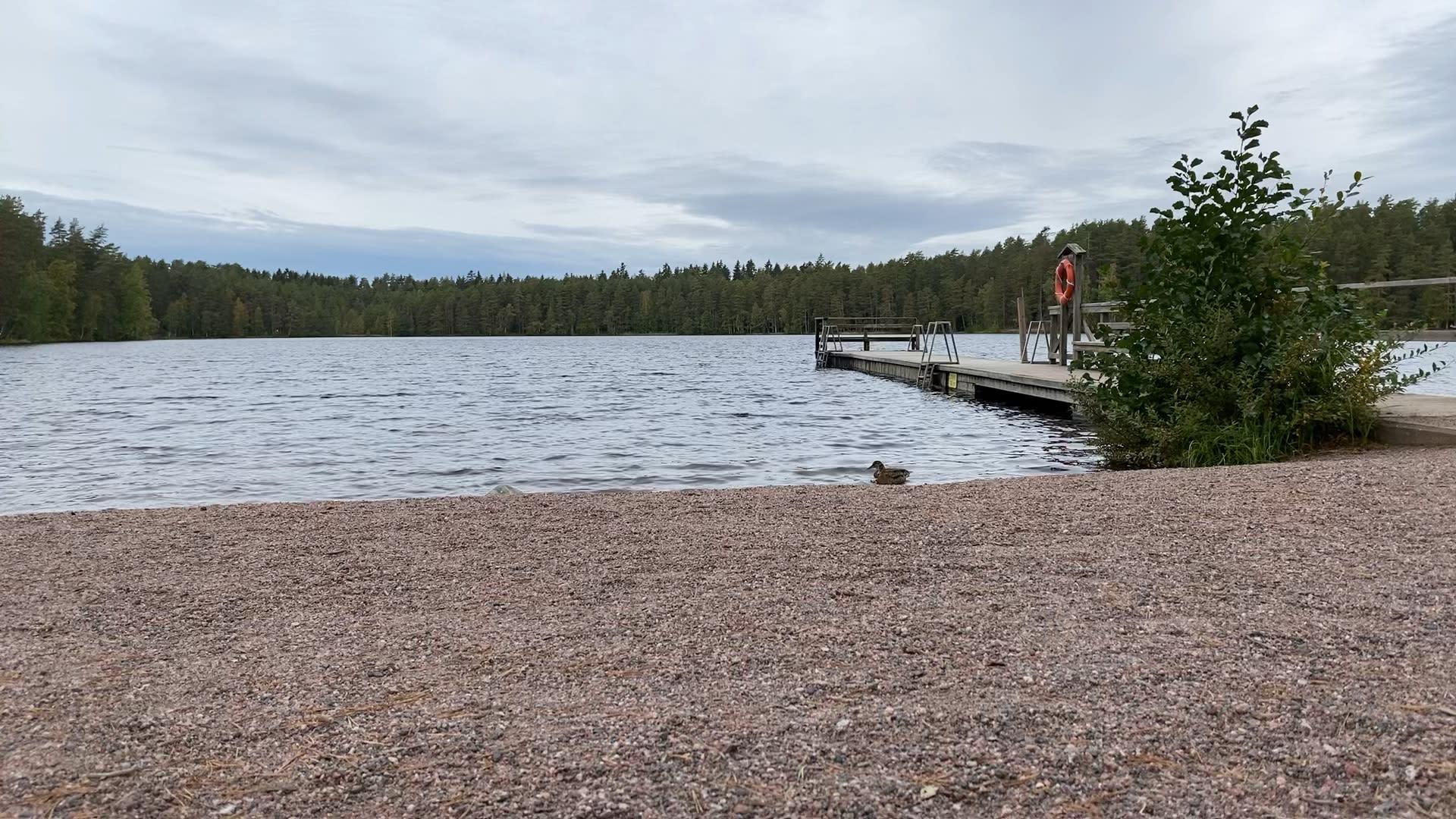 Uimaranta, jolta lähtee pitkä laituri järveen. Sorsa ui vedessä.