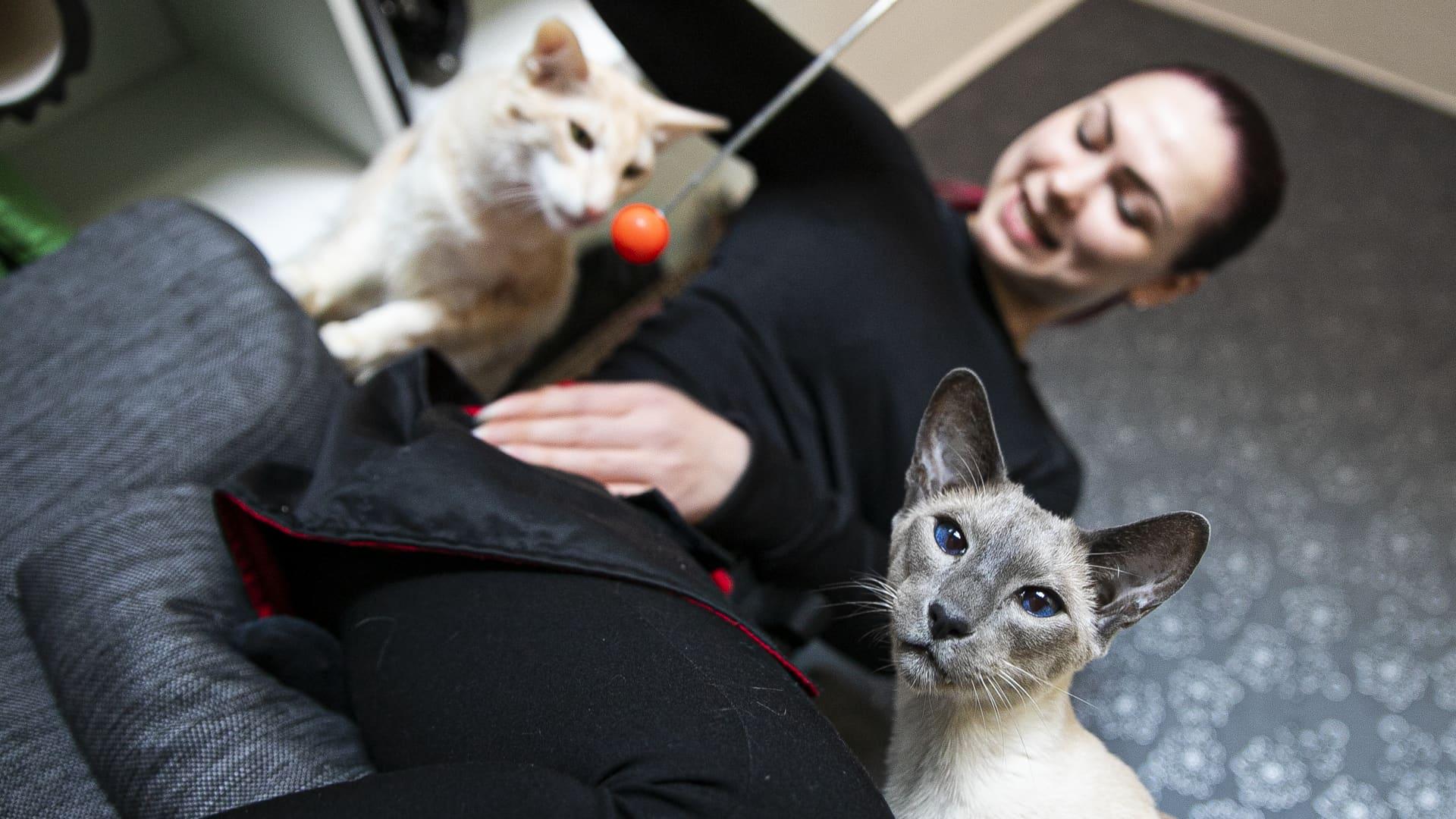 Kaksi rotukissaa on sohvalla nuoren naisen ympärillä. Harmaa sinisilmäinen kissa katsoo kohti. Nainen näyttää toiselle kissalle puikkoa, jonka päässä on oranssi pallo.