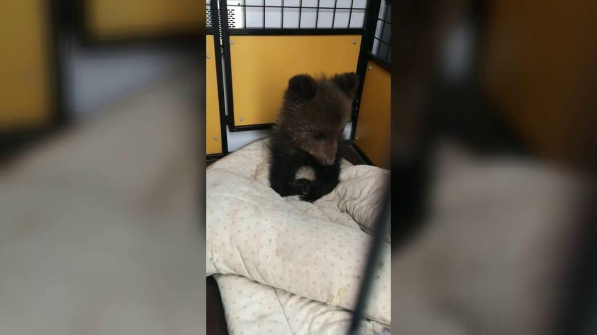 Kuhmossa pelastettiin pieni karhunpentu – katso, kun Penaksi nimetty nalle matkustaa orpokotiin