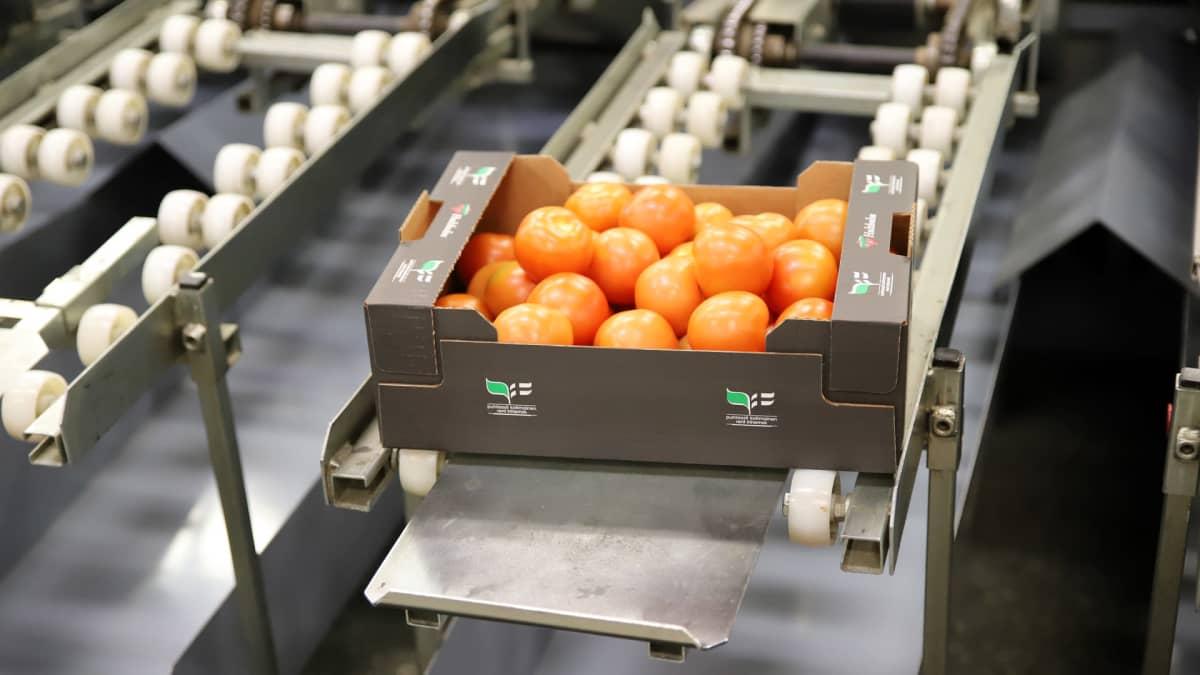 Laatikollinen tomaatteja liukuhihnalla Hultholmin pakkaamolla