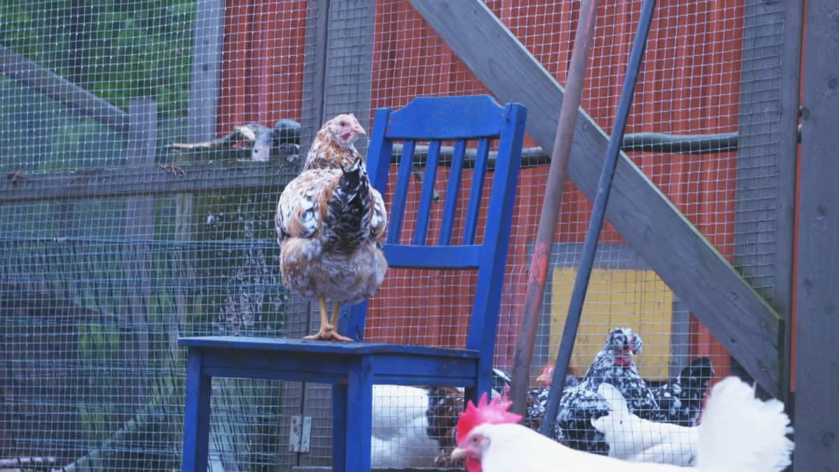 Kerttu-kana tarkastelee pihakanalan tapahtumia siniseltä puutuolilta.