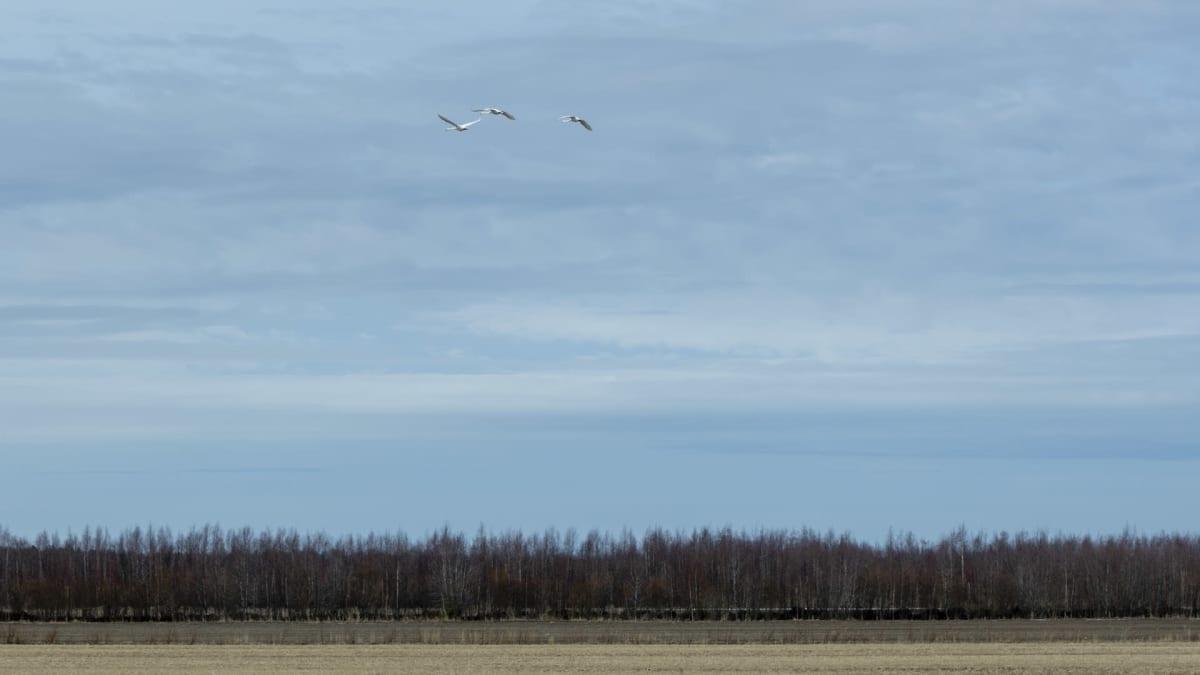 Liminganlahden luontokeskus, kolme joutsenta lentämässä