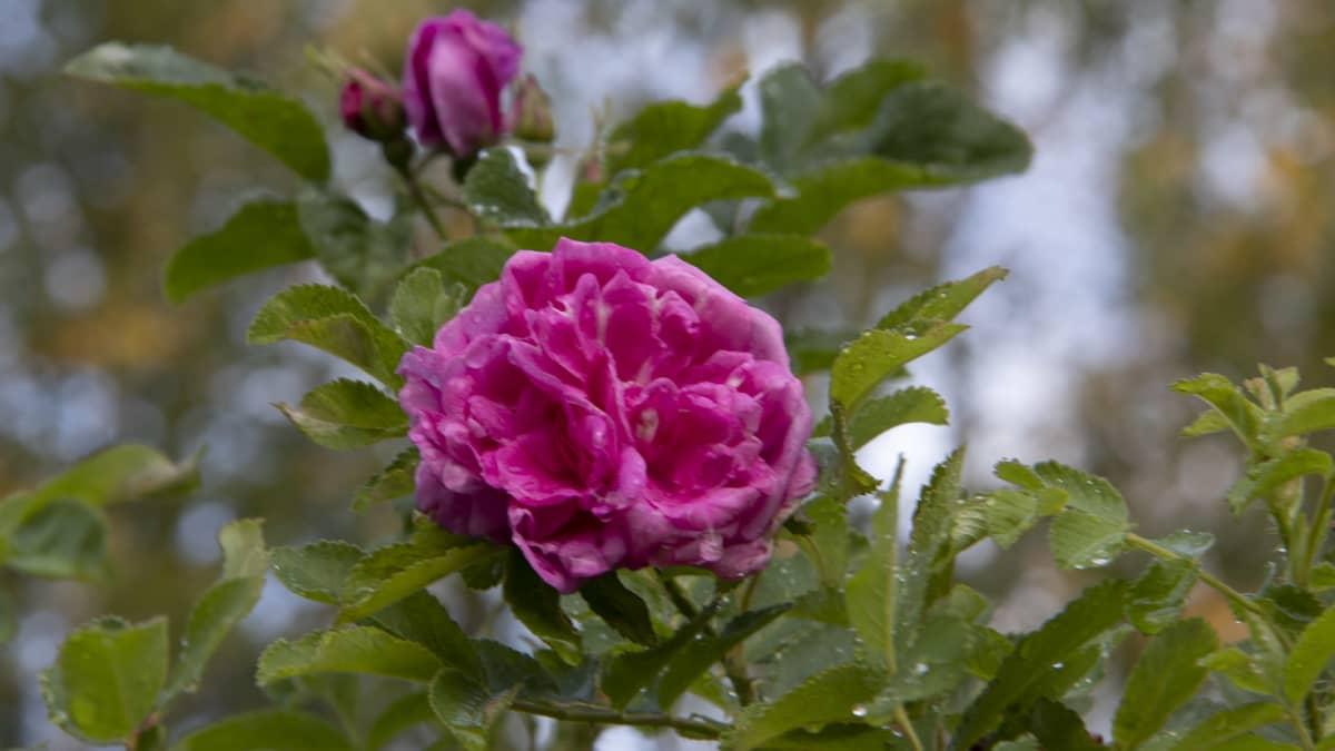 tarahakurtturuusun kukka