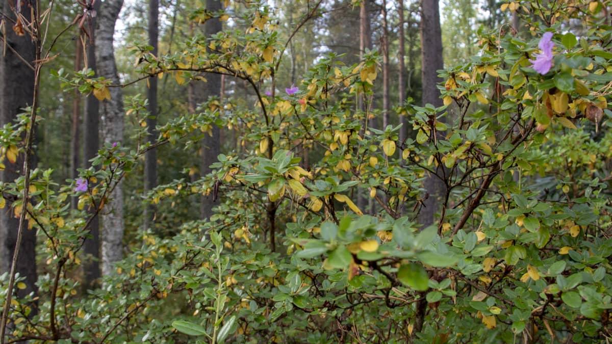 alppiruusu kukkii syyskuussa