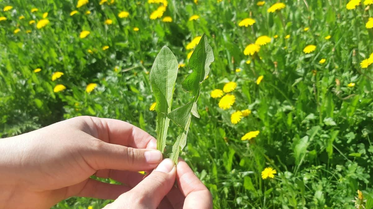 Voikukan lehtiä voi käyttää salaattina. Pienet, pyöreät lehdet ovat sopivan mietoja, isommat sahalaitaiset ovat maultaan voimakkaampia.