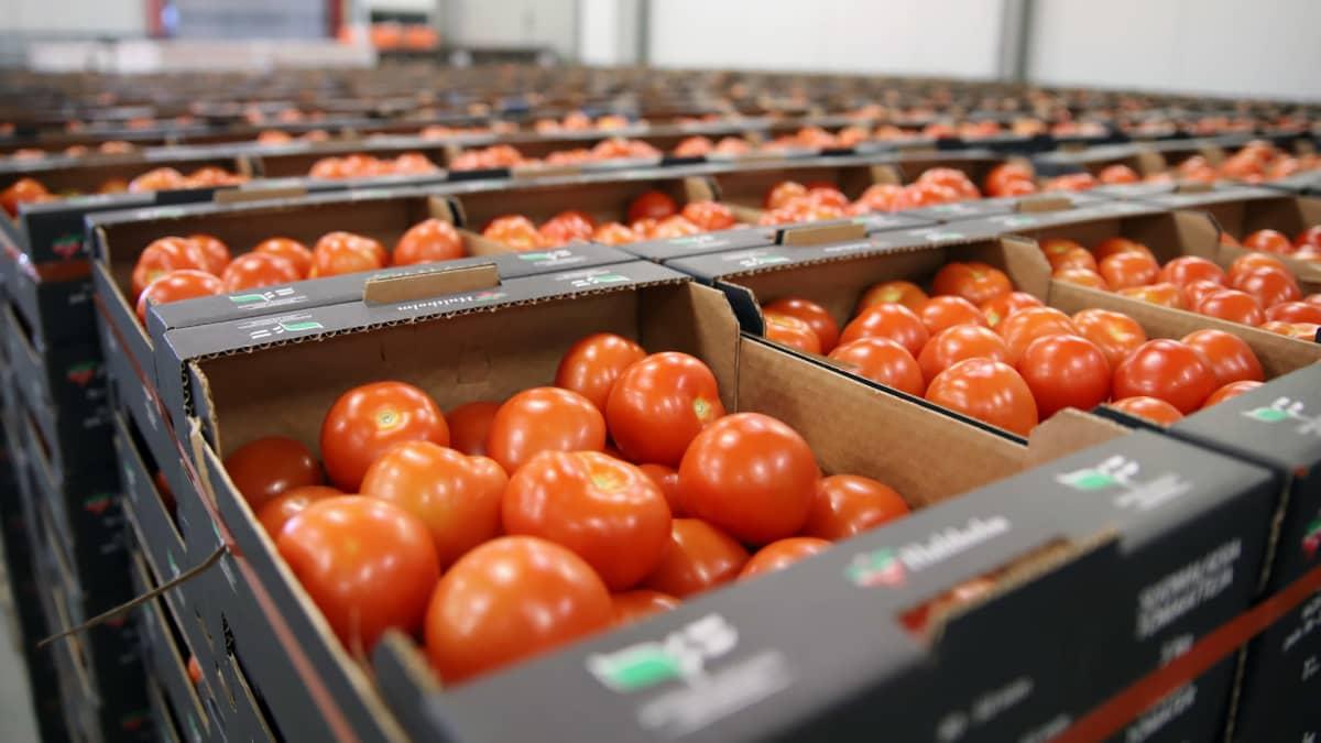 Tomaattilaatikoita Hultholmin pakkaamolla