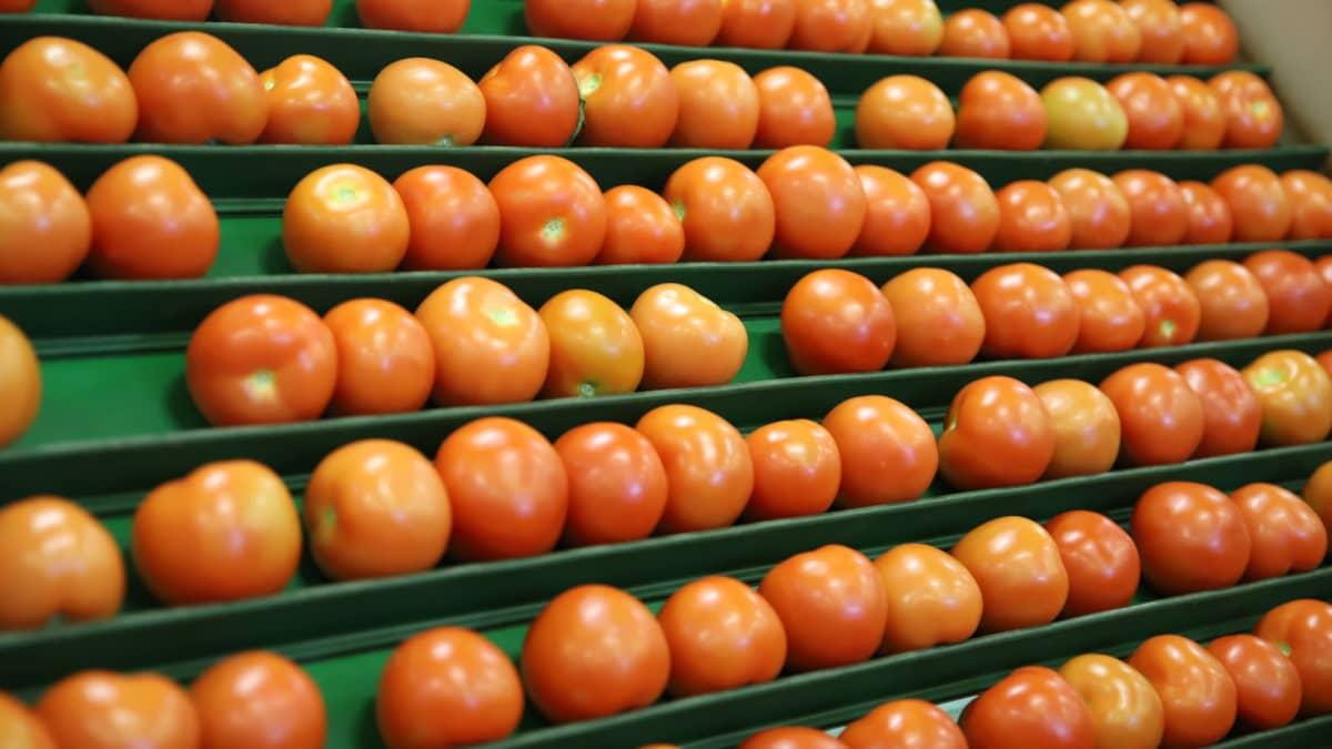 Tomaatteja Hultholmin pakkaamolla