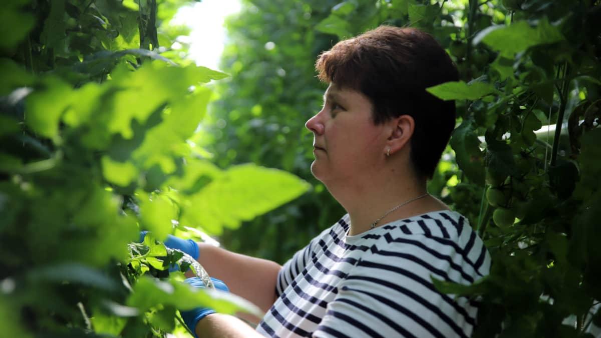 Smith's Gardenin viljelijä Johanna Smith tarkastelee tomaatteja