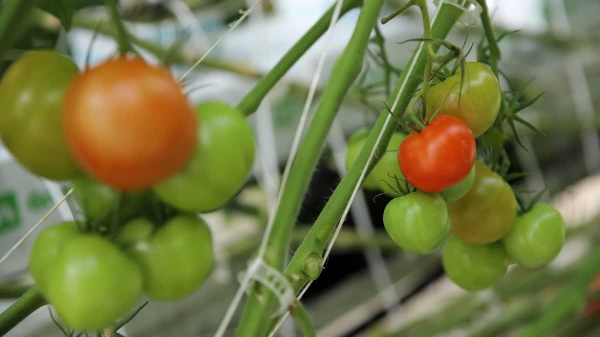 Tomaatteja kasvamassa kasvihuoneessa