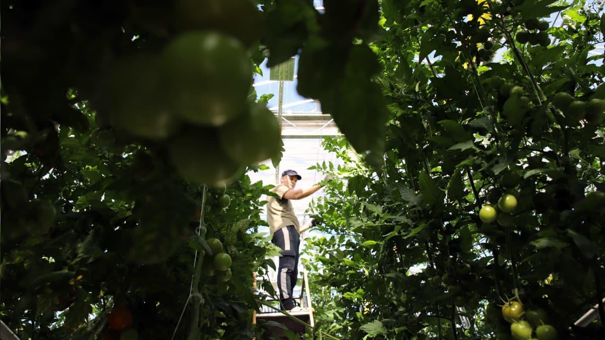 Kasvihuoneen työntekijä Pavlo Cherneha käsittelee tomaatteja