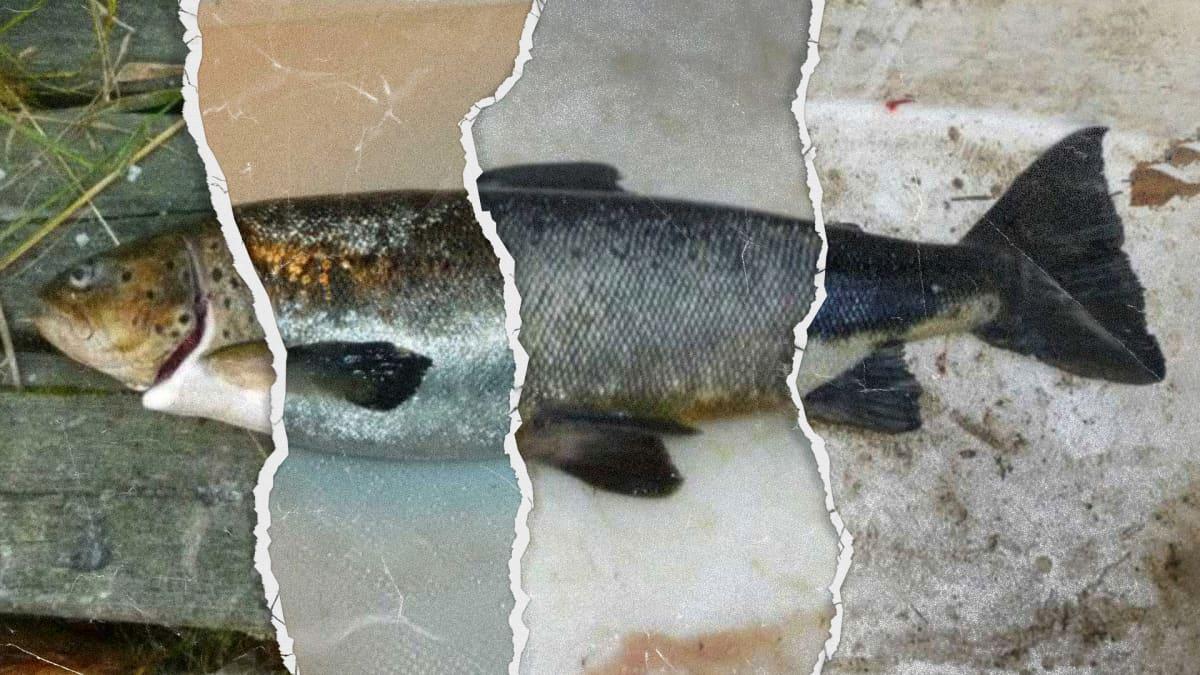 Kuvakollaasi poliisin esitutkintapöytäkirjoista otetuista laittomasti pyydetyistä kaloista.