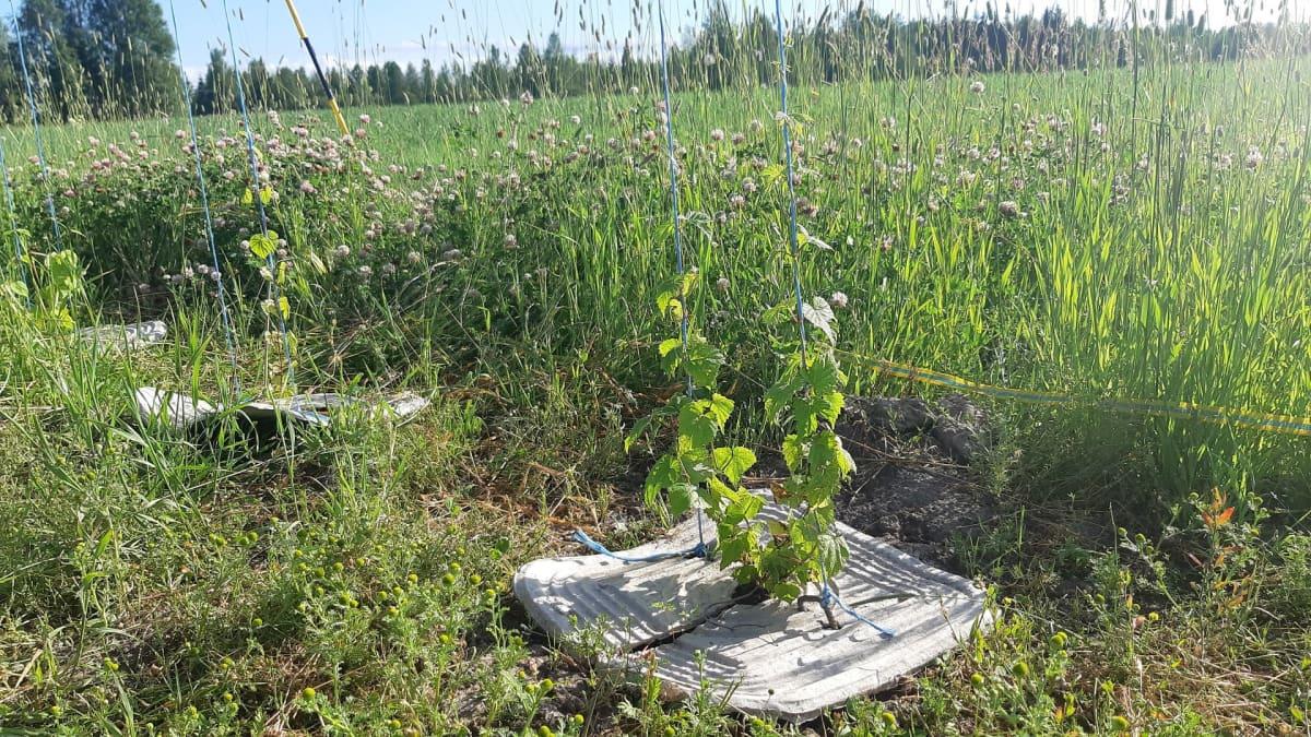 Humalantaimi kohoaa köynnöksenä maasta Louen koeviljelmällä.
