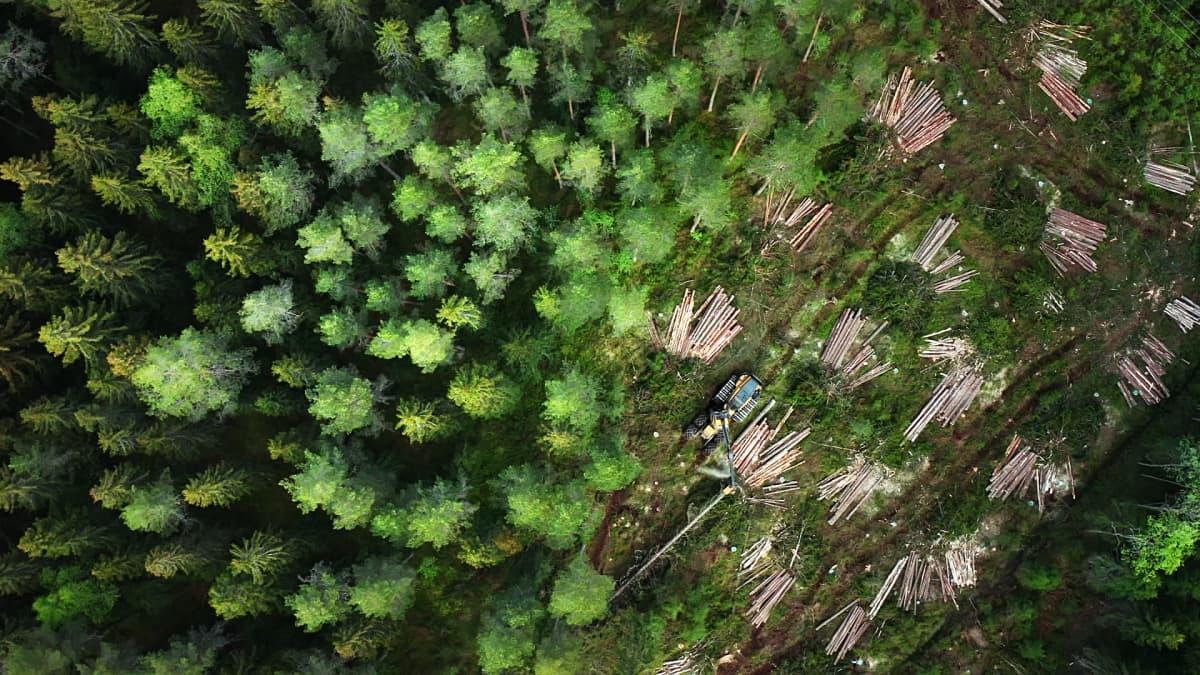 Kuusimetsän avohakkuun raja ilmakuvassa Ikaalisissa
