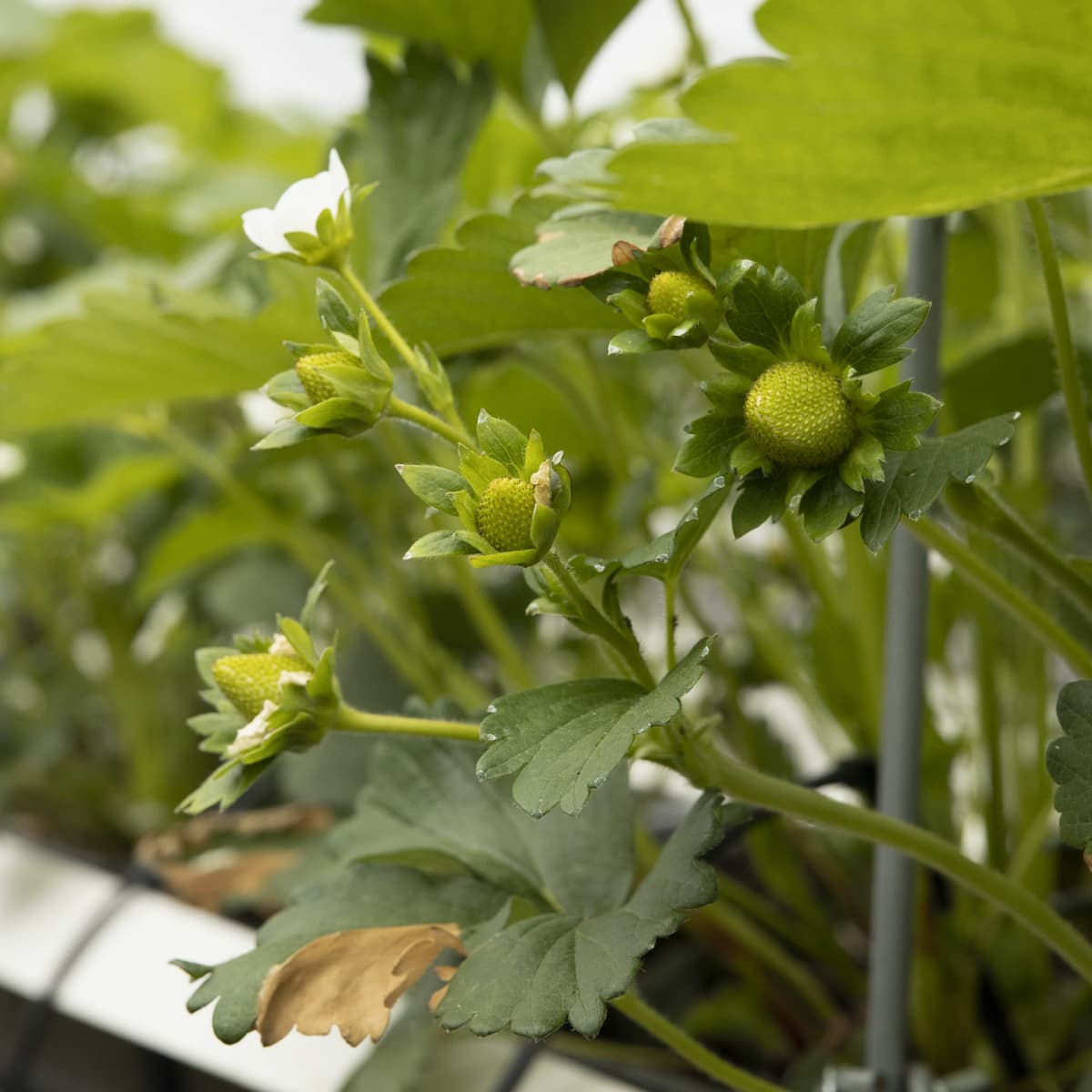 Mansikan kukka ja raakileita kasvatustunnelissa.