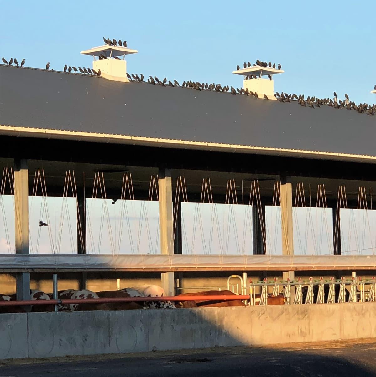 Naakkaparvi päivystää pihaton katolla Marttilassa.