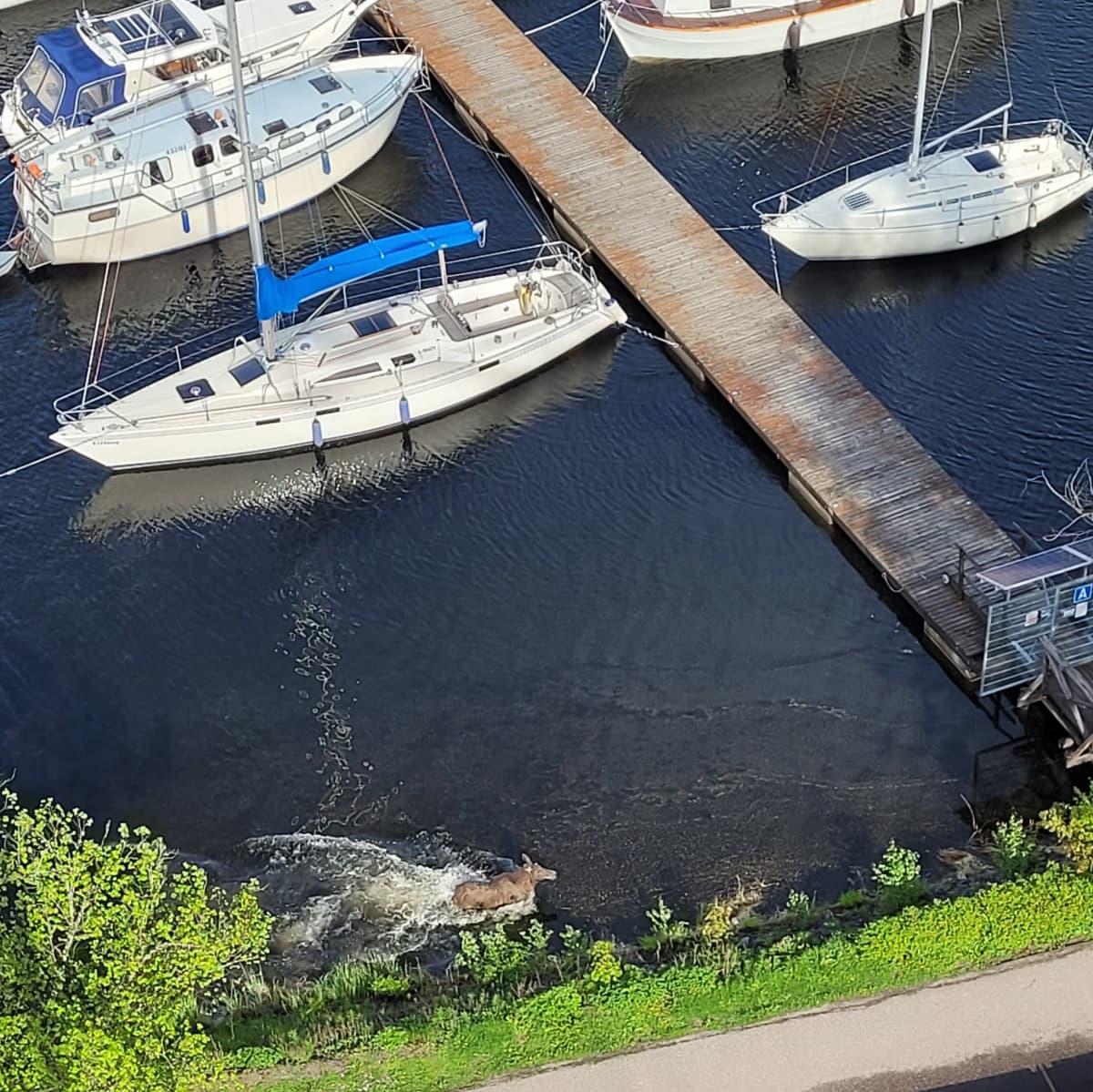 Hirvi järvessä Lappeenrannan satamassa 24. toukokuuta 2021.