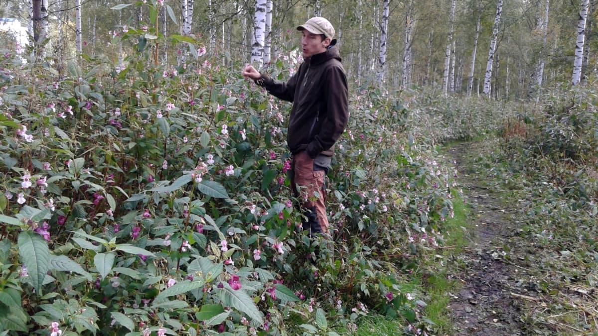 Lampuri Eemeli Piesala tutkii palsamikasvustoa vuonna 2018