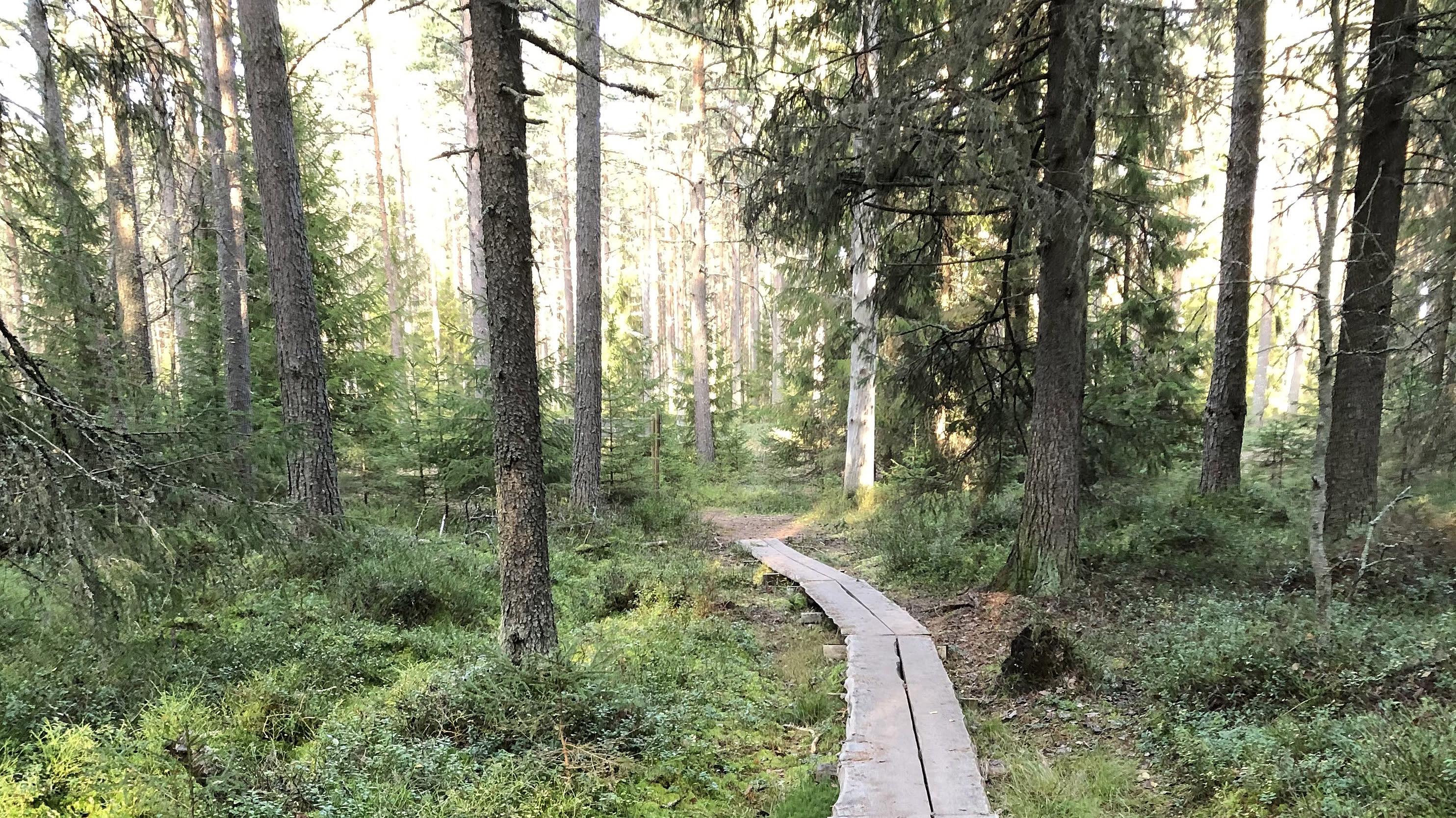 Kuvassa pitkospuut metsässä