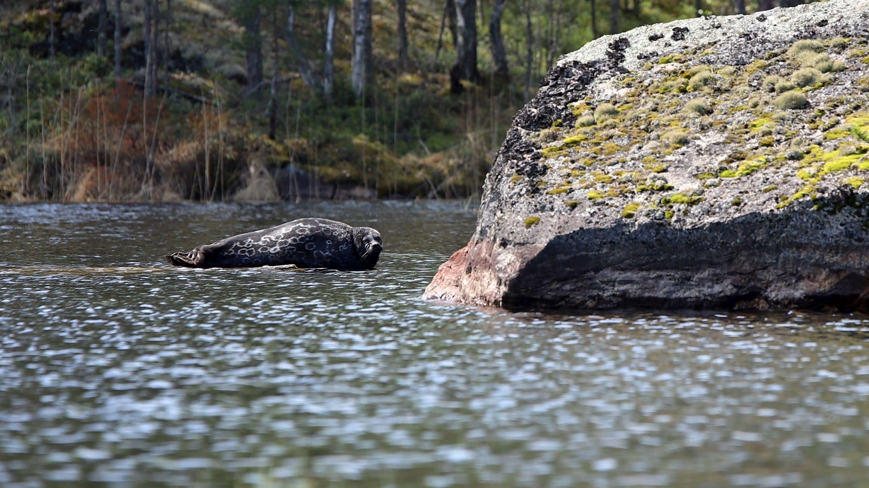 Saimaannorppa makaa kiven päällä Saimaalla.