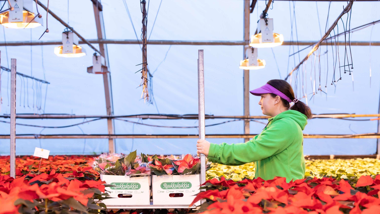 Olga Petrova työntää joulutähtiä täynnä olevaa kukkavaunua EJ-tarhoilla Soinissa