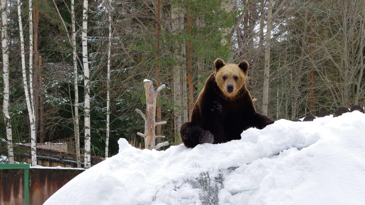 Karhu Ähtärin eläinpuistossa