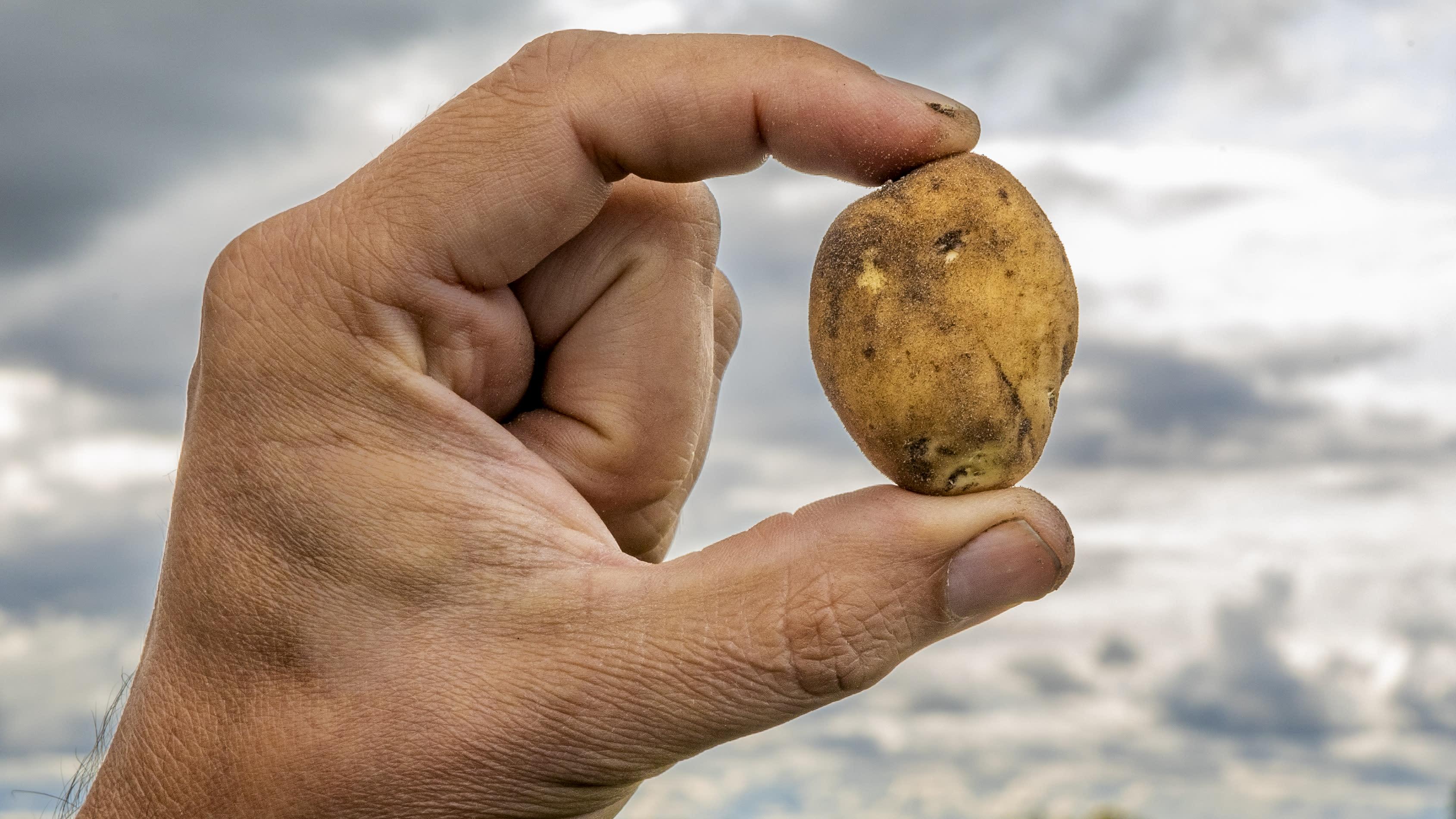 Lähikuva käsi pitää perunaa taivasta kohti