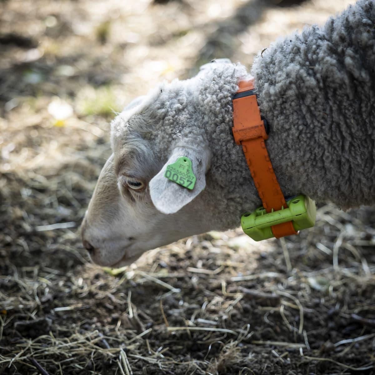 Lammas, jolla on kaulassa gps-panta.
