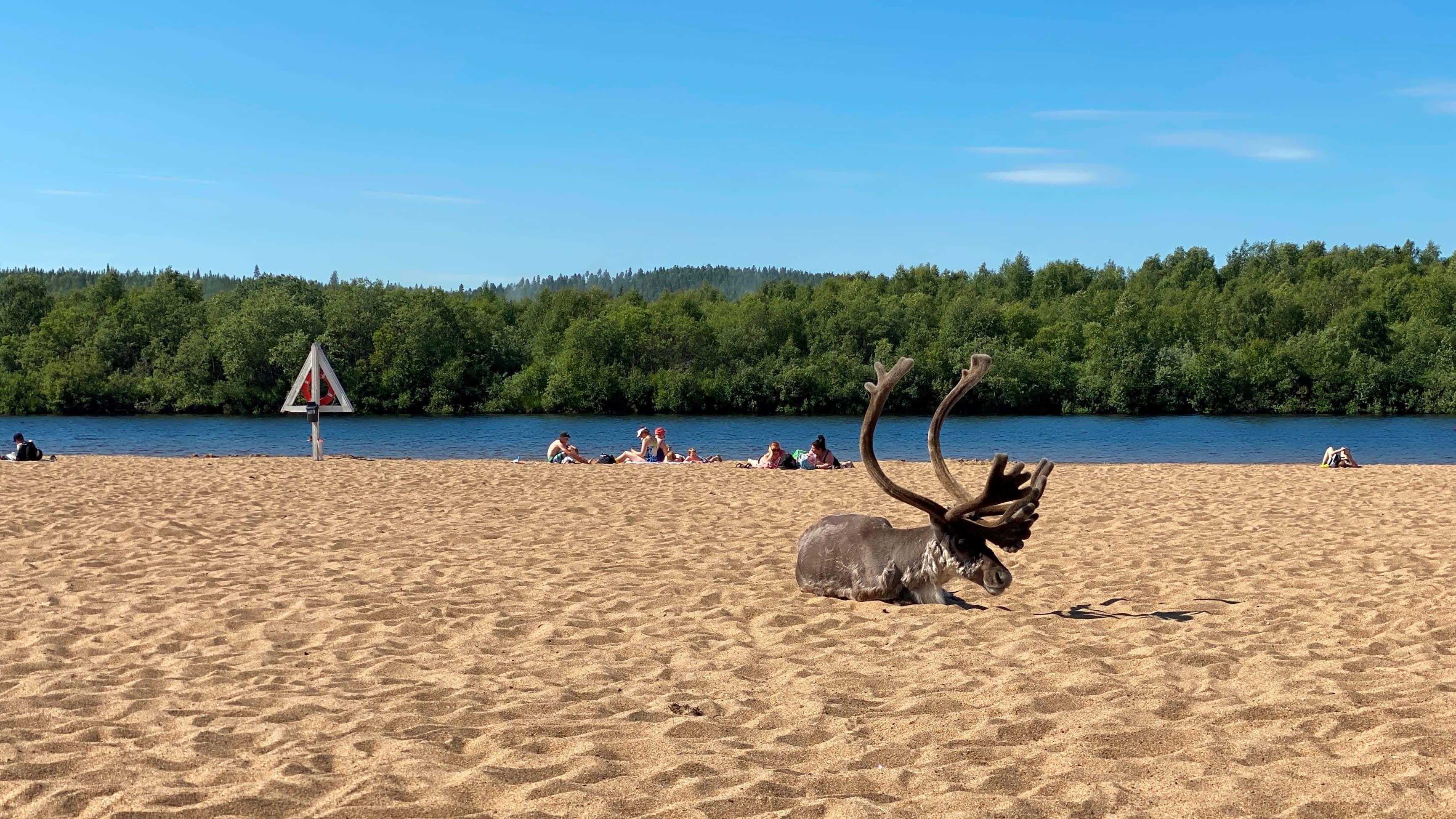 Poro loikoilee Ivalon uimarannalla