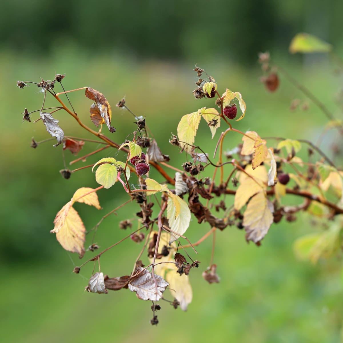 Vadelmanoksa, jossa useita ruskeiksi kuivuneita marjoja.