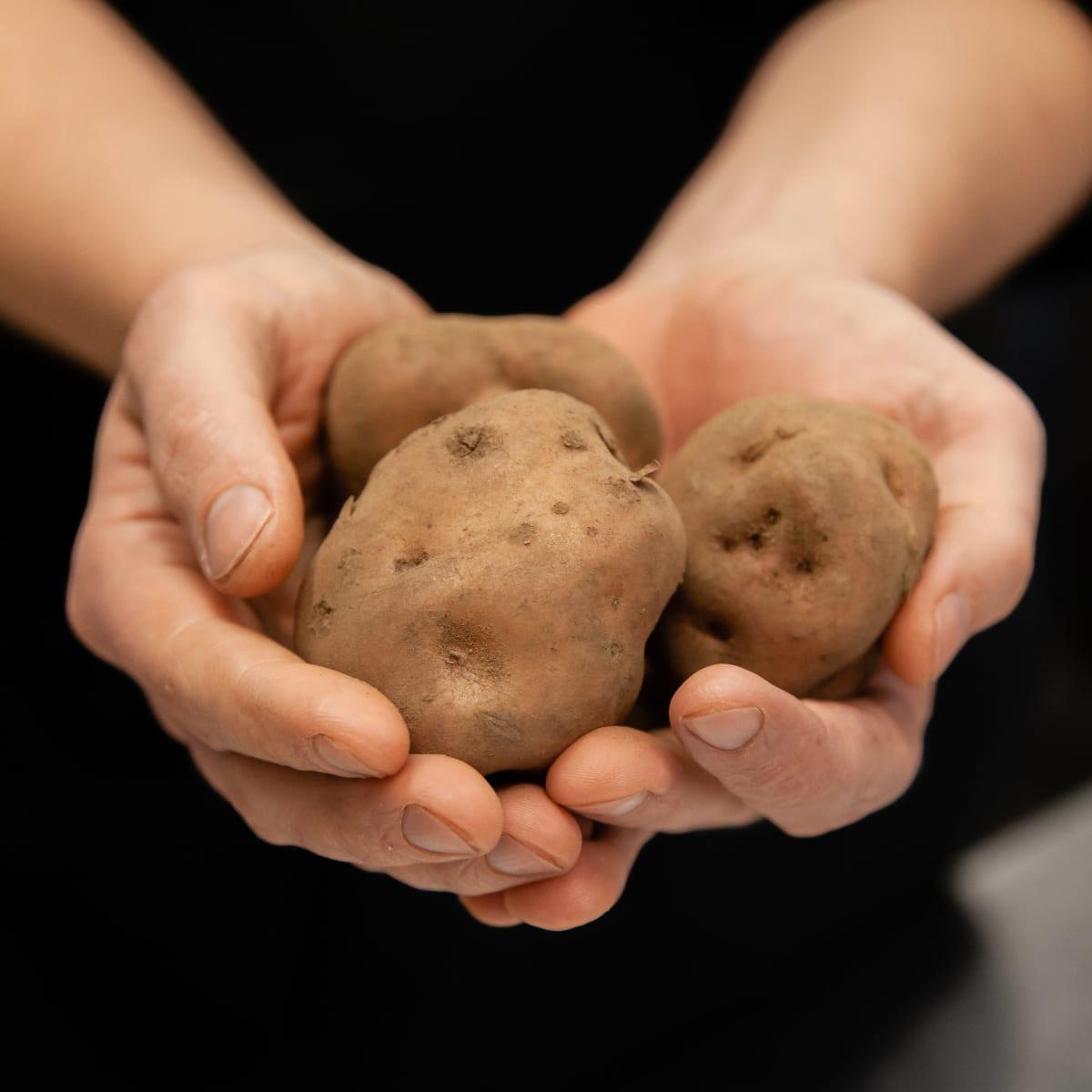 Keittiömestari Kimmo Käck pitelee Lemin punaista perunaa käsissään.