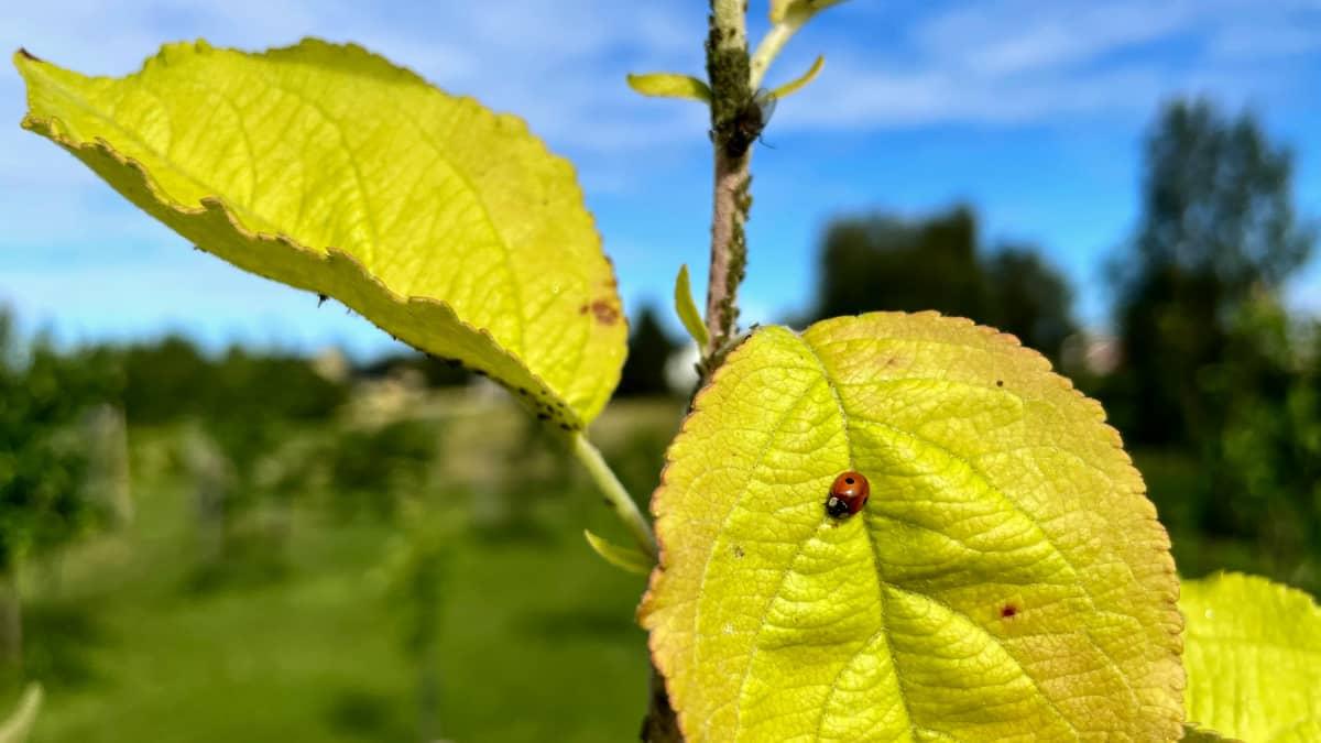 Kirvoja ja leppäkerttu omenapuun oksilla