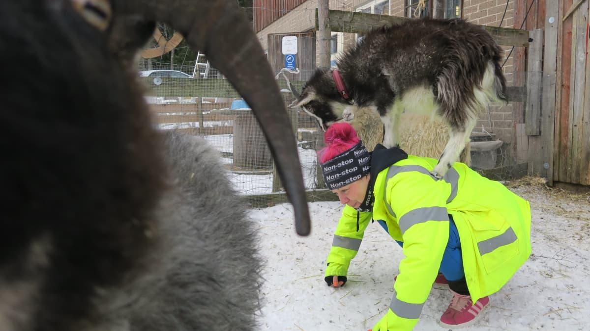 Vuohet varastavat shown tuotantoeläinten turvakodissa