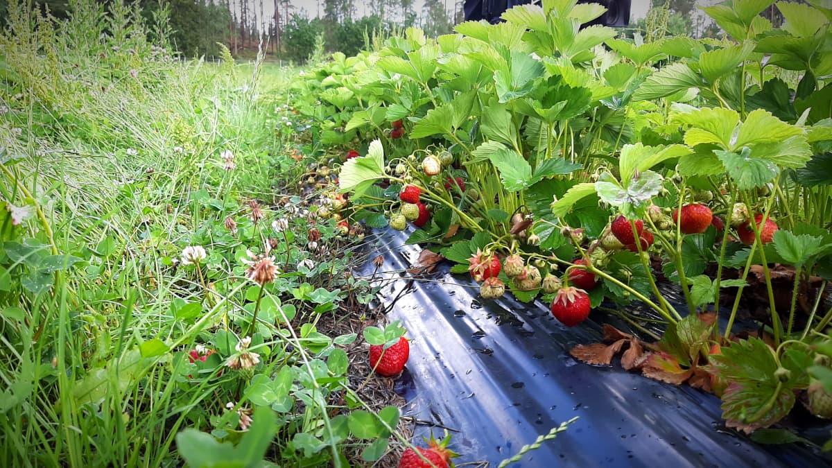 Jordgubbar växer på en stor odling på Keskylä gård i Pargas.