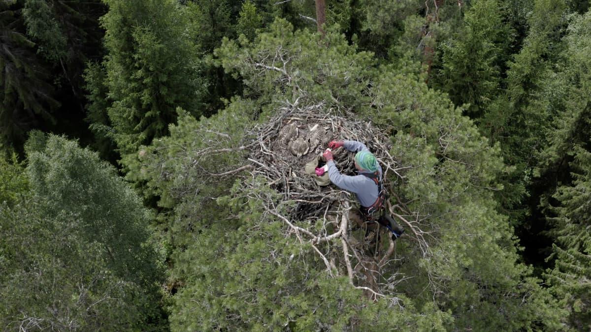 Ylhäältä kuvattu metsä, jossa mies on kiivennyt ison puun latvassa sijaitsevan sääksen pesän viereen rengastamaan pesässä olevia poikasia.