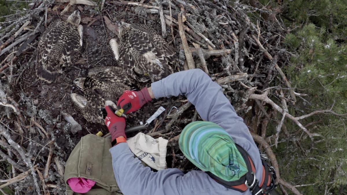 Mies rengastaa puun latvassa sijaitsevassa sääksen pesässä olevia poikasia