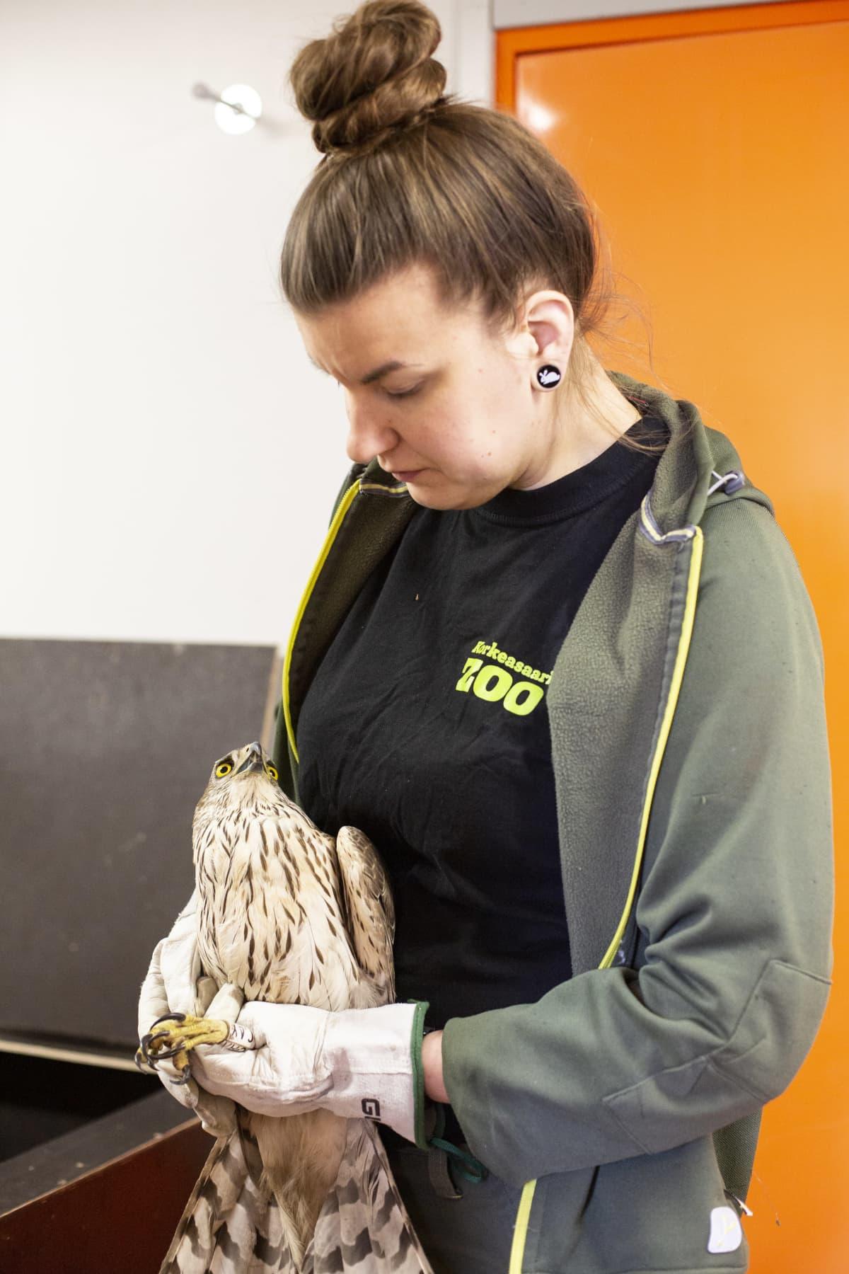 Kanahaukka Korkeasaaren eläintenhoitaja Laura Pullin sylissä.