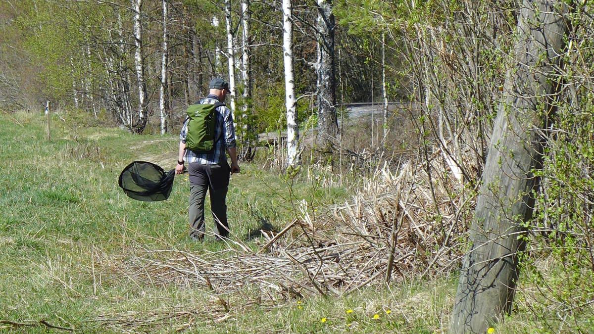 Turun yliopiston erikoistutkija Kari Kaunisto tarkkailee hyönteisiä haavin kanssa