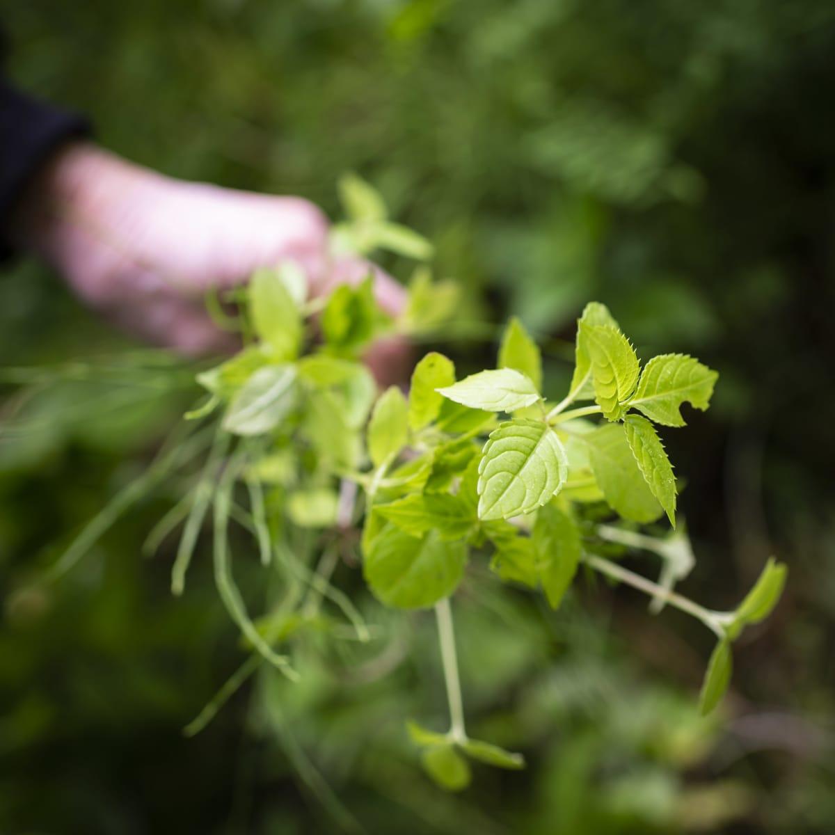 Käsi pitelee jättipalsamin taimia.