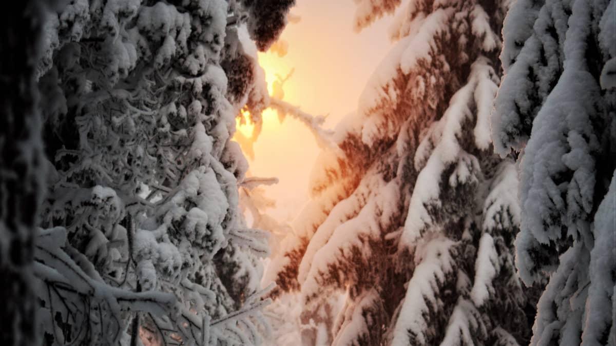 Auringon kajoa lumisten kuusien takaa.