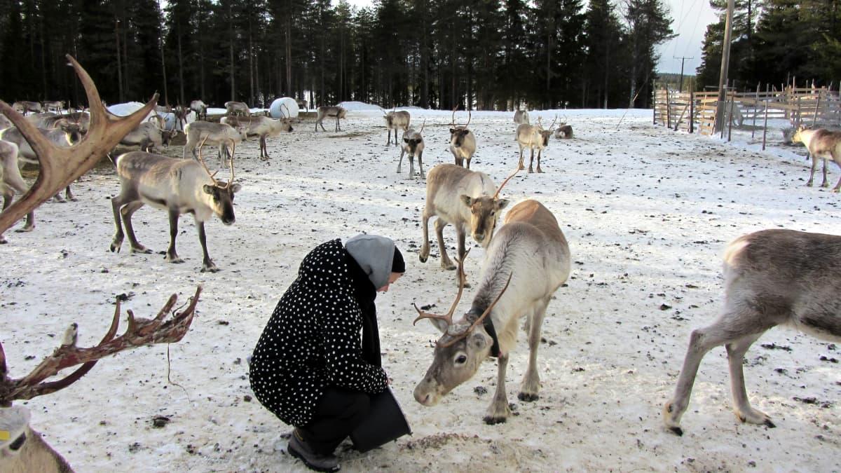Toimittaja Reetta Arvila syöttää poroja taivalkoskelaisella tilalla.
