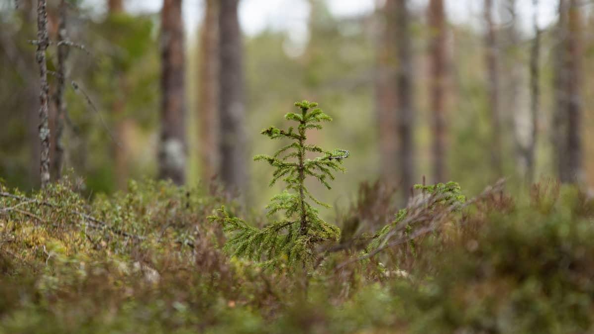 Kuusentaimi metsässä