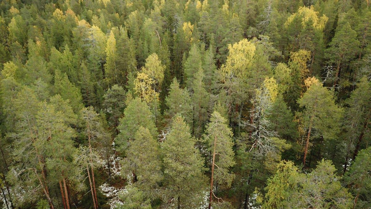 Suojeltua luonnontilaista metsää.