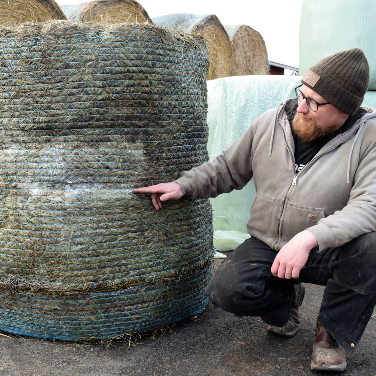 Maitotilallinen Henri Hartikainen näyttää, miten rehupaali on homehtunut, kun naakat ovat rikkoneet kääremuovin.