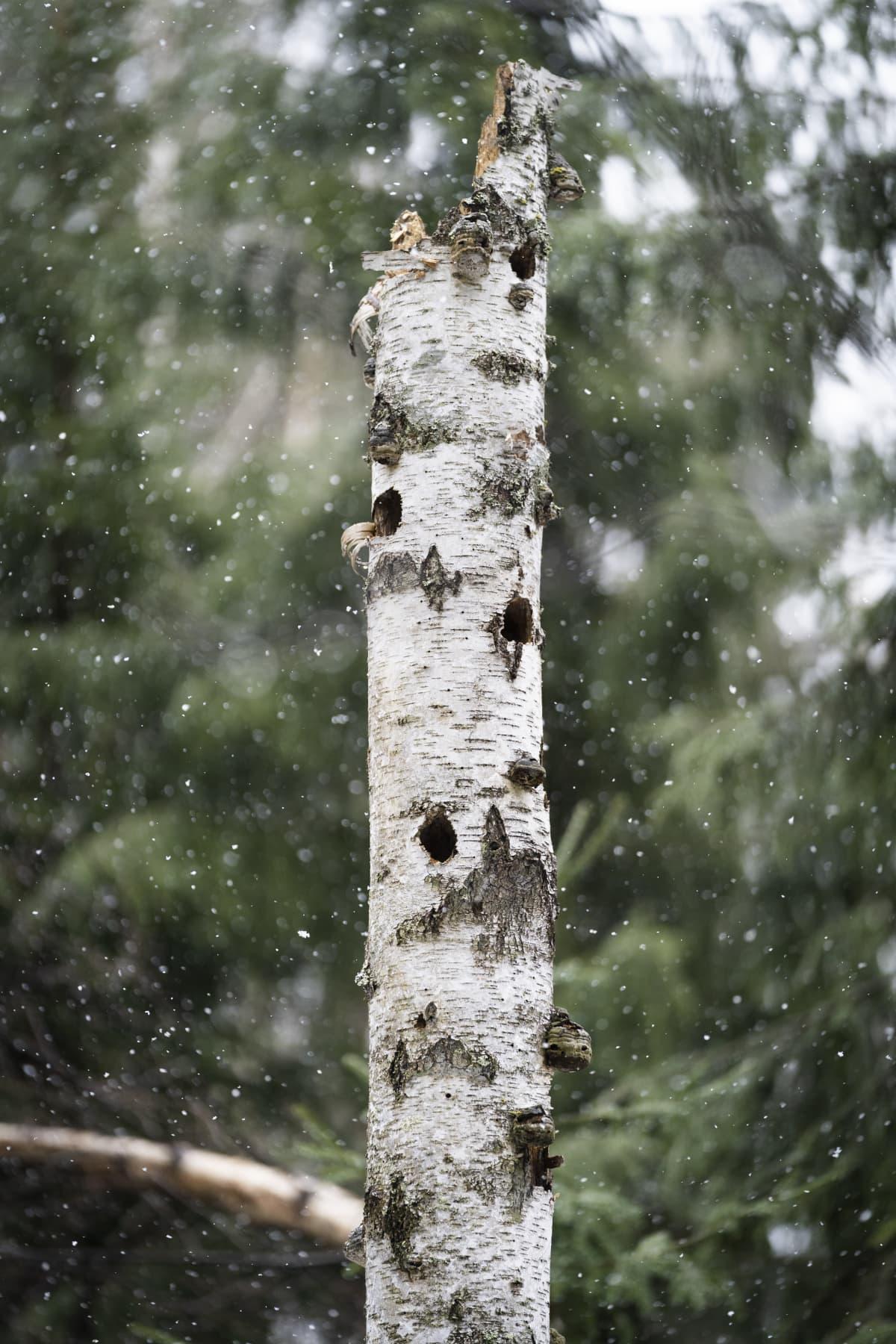 Metsässä pystyynkuollut koivunrunko, missä lintujen koloja.
