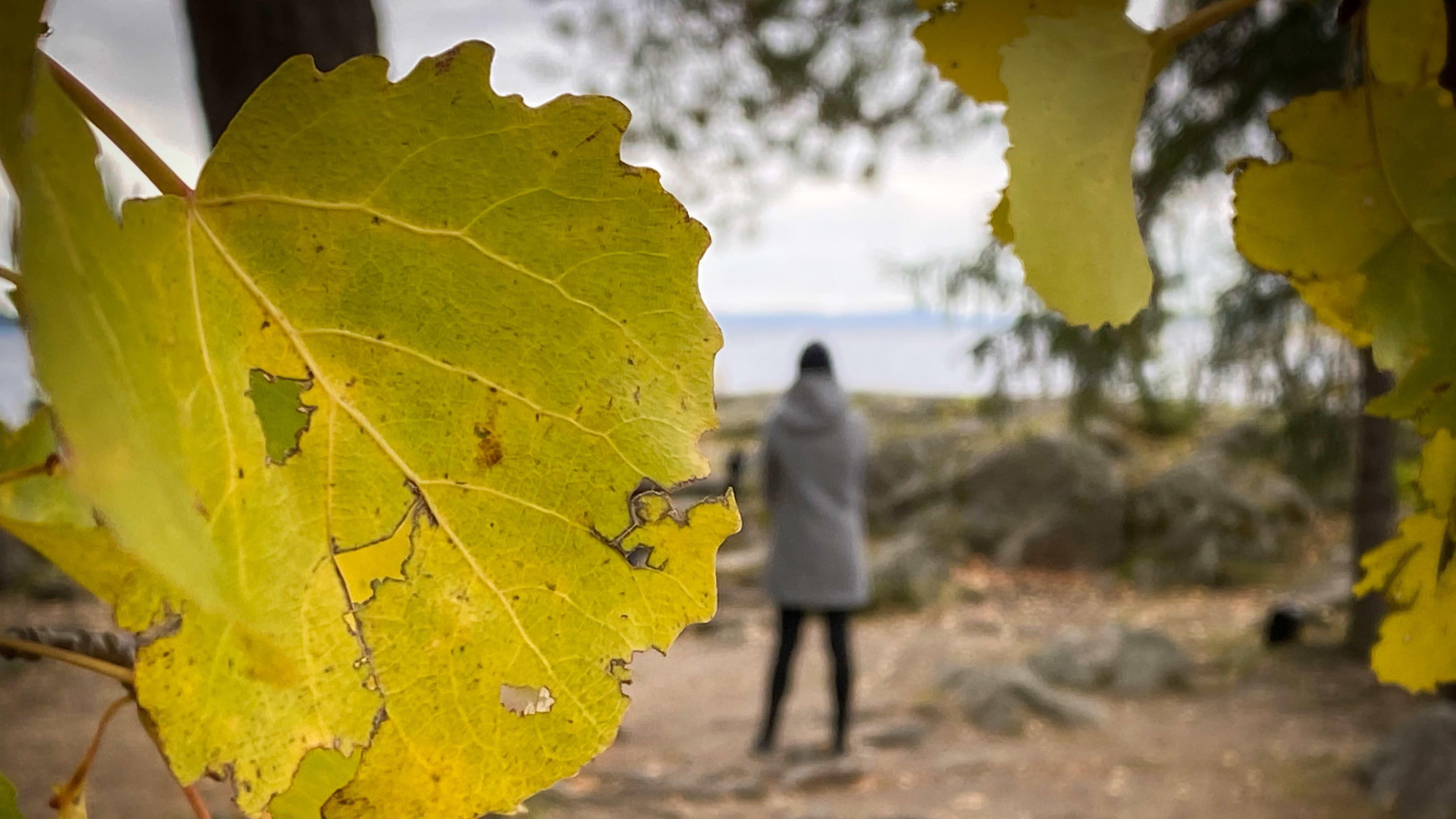 Nainen seisoo selin rannalla, kuvan etualalla kellastuneita puun lehtiä.