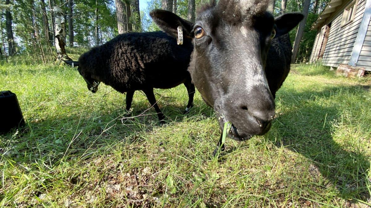 Viikko lammaspaimenena ylitti odotukset - Ärjänsaaresta löytyy tekemistä koko perheelle