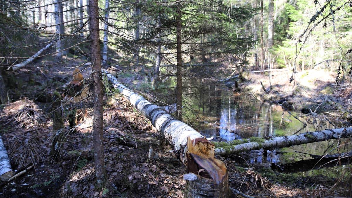 Majavan kaatama puu Evon tutkimusmetsässä huhtikuussa 2020.